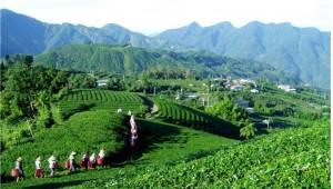 ceai alb Fujian