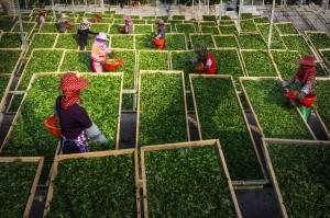 fabrica de ceai Fujian