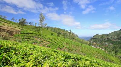 plantatie de ceai din Rize