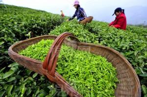 plantatie de ceai china