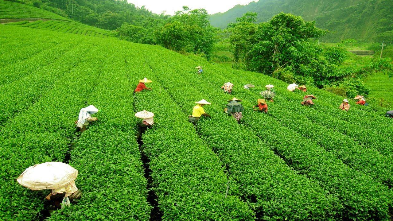 Grădină de ceai din Darjeeling