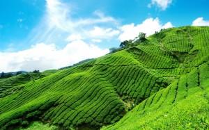 plantatii ceai