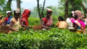 plantatie de ceai india